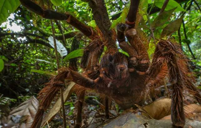 ad 149263301 Amazonian Spider The Size Of A Puppy Discovered By Scientist