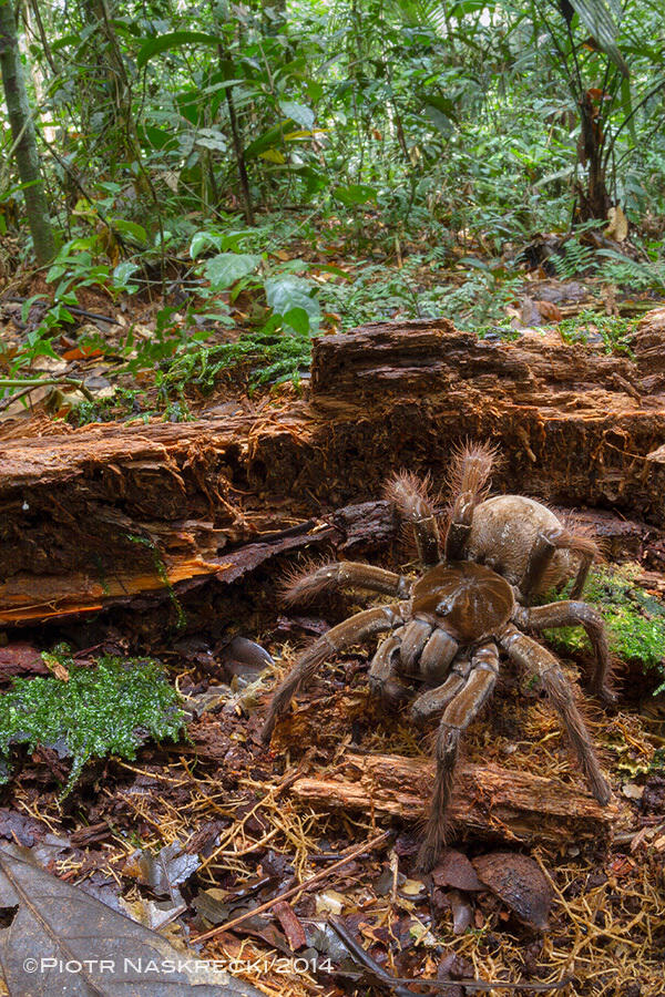 theraphosa5 Amazonian Spider The Size Of A Puppy Discovered By Scientist