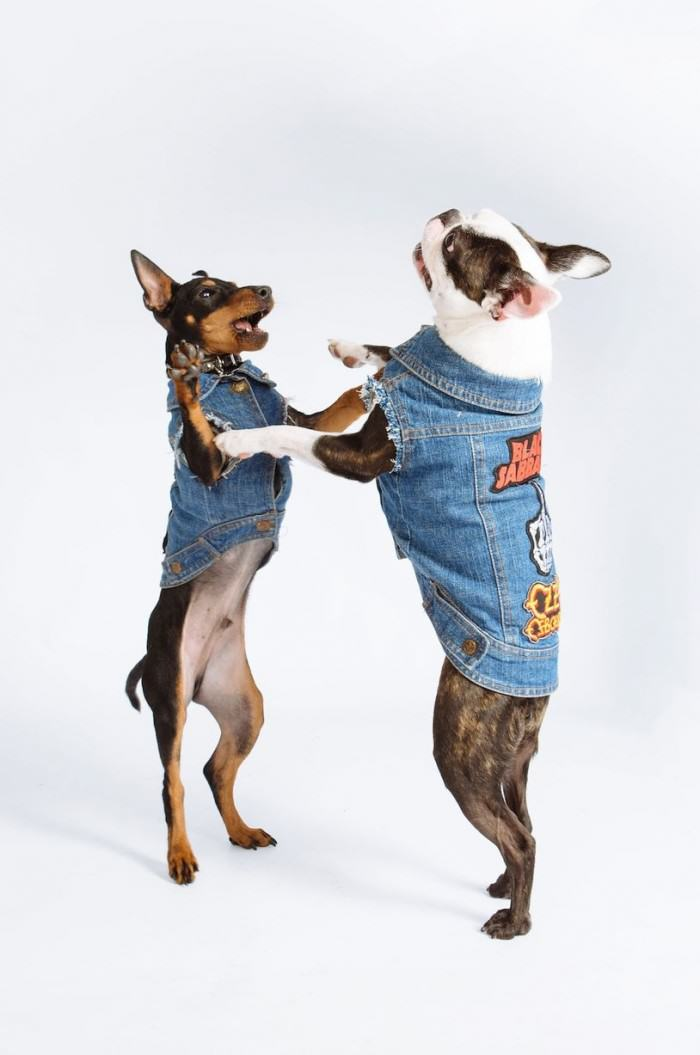PAY Denim Dogs 5 e1422391430634 Is Your Dog A Rocker, But Missing A Sleeveless Denim Jacket? Youre In Luck