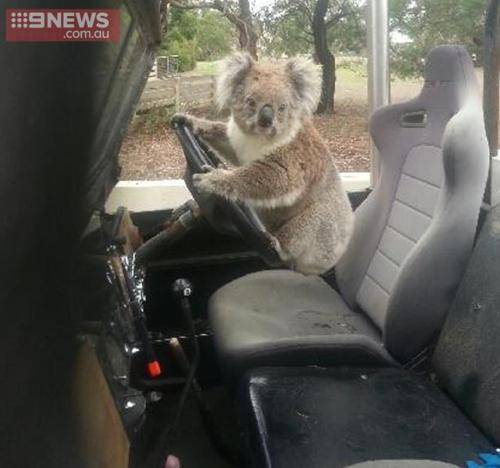 ad 161008566 Lad Comes Home From School To Find Koala Trying To Drive Family Car