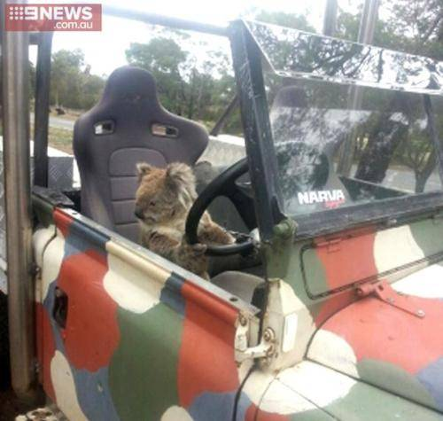 ad 161008619 1 Lad Comes Home From School To Find Koala Trying To Drive Family Car
