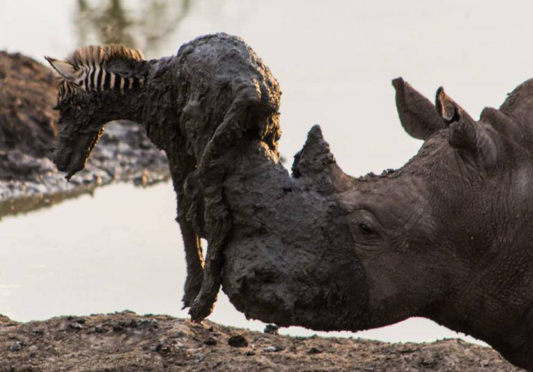 RHINO Amazing Moment Rhino Lifts Zebra Free From Mud Turns Into Disaster