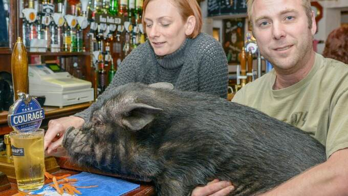 dxcfgvhjk This Beer Stealing Pig Has Been Hit With An Alcohol Ban