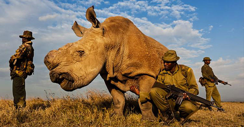 CCS1k4QW8AAFmAD Last Male Northern White Rhino On Planet Has 24/7 Armed Guard Protection