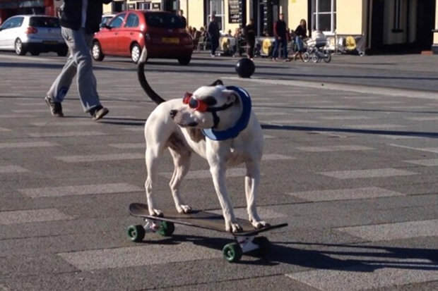 drfghjkl This Skateboarding Staffie Is Out To Change Peoples Negative Perceptions Of The Breed