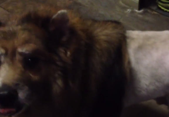 Man Sends His Dog To The Groomers, Comes Back With Lion Haircut lionWEBTHUMBNEW