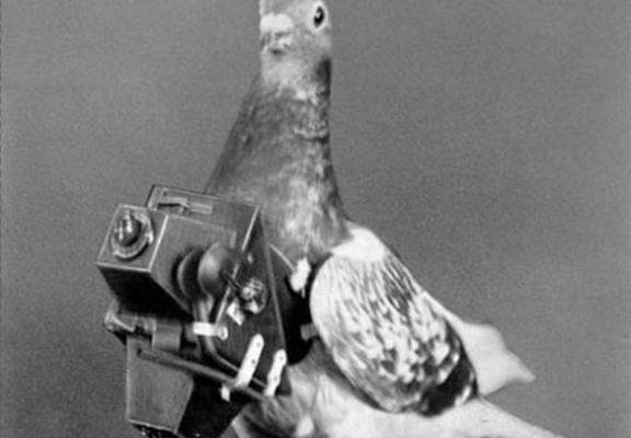 india web Pakistani Pigeon Arrested In India   For Espionage