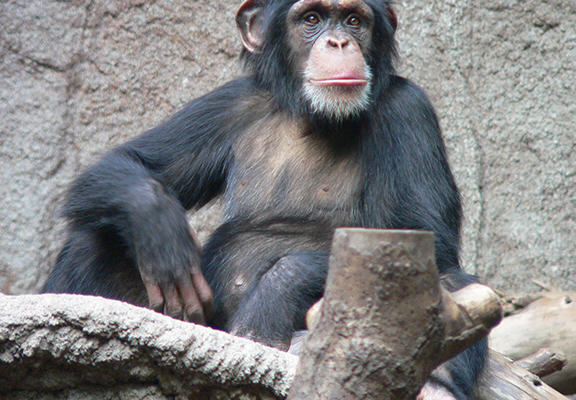 chimp web Chimps Can Cook, Prefer Hot Food And Are Probably Going To Take Over