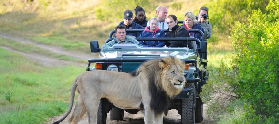 lion2 American Tourist Mauled To Death By Lion At South African Game Park
