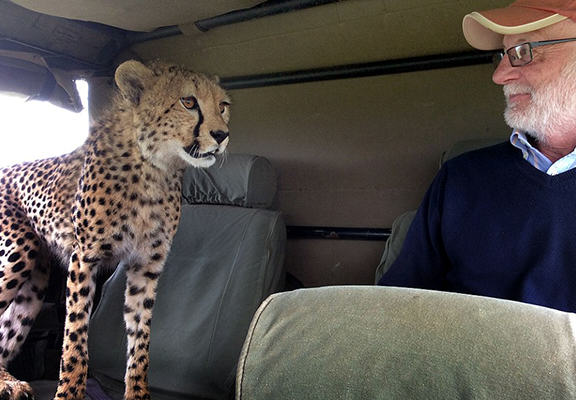 Crazy Moment Cheetah Jumps Into Mans Safari Jeep cheetah 5