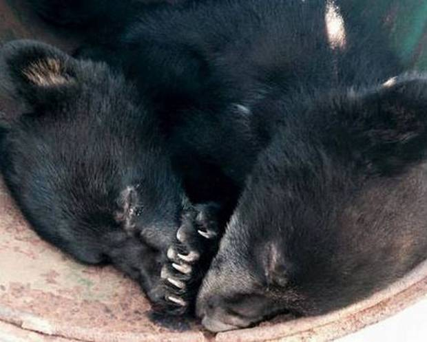 cubs Wildlife Conservation Officer Suspended For Refusing To Kill Two Bear Cubs