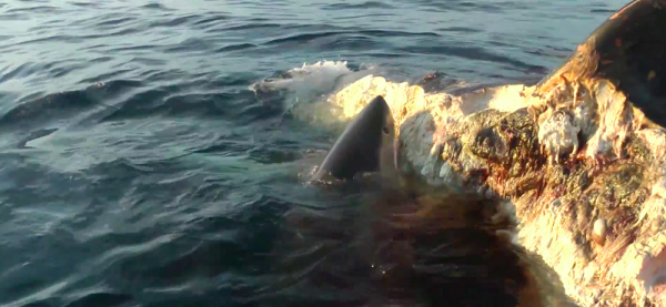 whale1 Five Sharks Destroy A Whale In Seriously Terrifying Footage