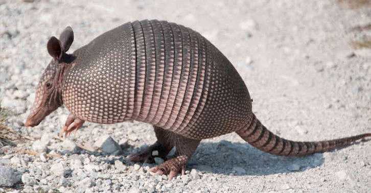 A1jaWHbZ4armadillo FB.jpg Man Shoots Armadillo, Ends Up In Hospital When Bullet Bounces Back