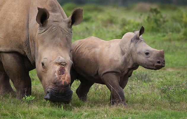 AeGNohpwZJacques Matthysen 2.jpg Baby Rhino Pictured Smiling Following Attack By Poachers That He Survived