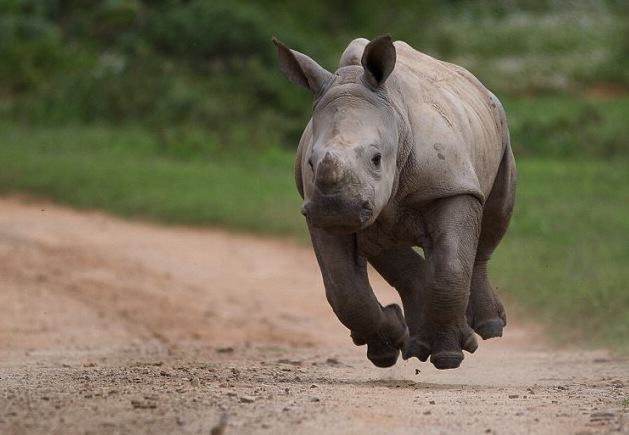 Fv98Am2RxJacques Matthysen 3.jpg Baby Rhino Pictured Smiling Following Attack By Poachers That He Survived