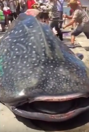 UNILAD ARnPxv6AstM Sickening Clip Shows Whale Shark Being Butchered ALIVE At Chinese Market