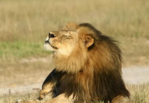 UNILAD cecil web52 Cecils Cub Gets Killed By Rival Cub, As Hunting Ban Is Lifted In Zimbabwe