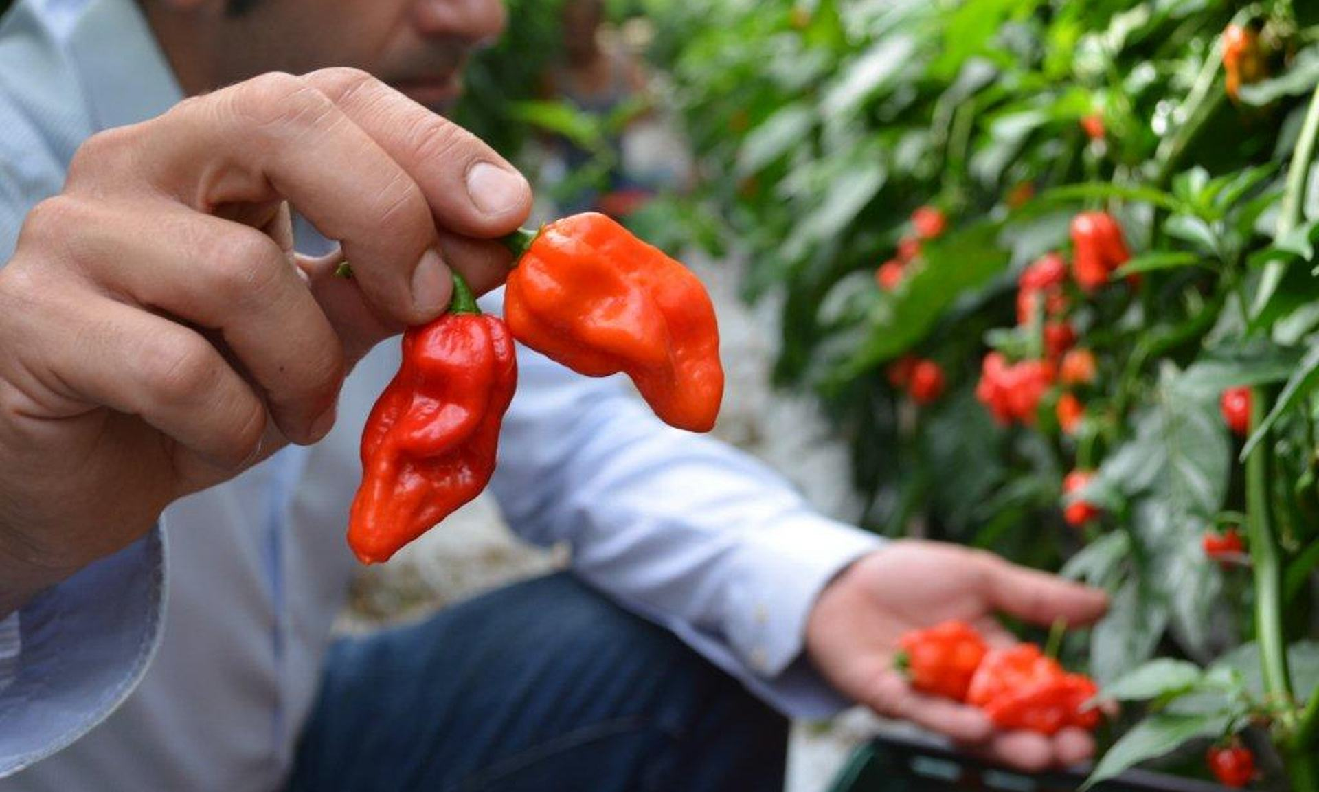 The Hottest Chilli Pepper Money Can Buy Is Now On Sale In The UK UNILAD chilli 17