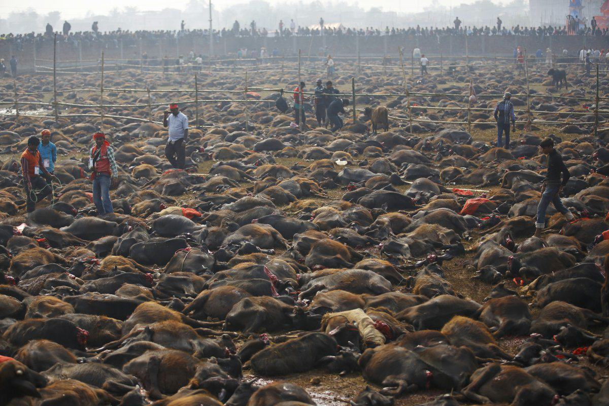 Nepal Religious Festival Bans Slaughter Of Half A Million Animals UNILAD nepal festival 12