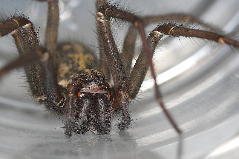 Giant Horny Mouse Sized Spiders Set To Invade UK Homes UNILAD spiderzrule.com 7