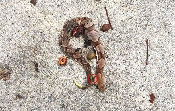 Copperhead snake still moving after death Footage Shows Dead Snake Still Wriggling And Reason Why Is Super Gross