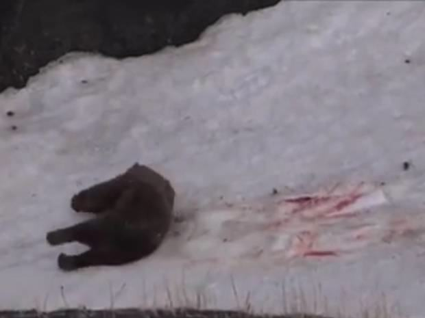 Bear Killed In Horrific Footage Proves Humans Are Shit UNILAD bearg5