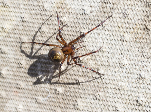 UNILAD false widow getty8 Ten Spiders Coming To Live With You This Autumn