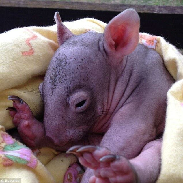 lucky3 Lucky Is The Lone Survivor Wombat After A Group Of Drunk Men Slaughtered Her Family