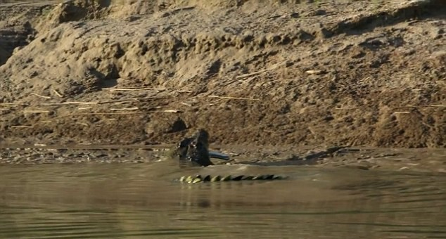 UNILAD 2D6F30C700000578 0 image a 5 14448963859594 Moment Crocodile Was Caught On Camera Eating One Of Its Own