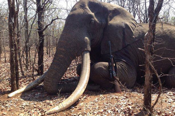 UNILAD Elephant shot in Zimbabwe13877 Biggest Elephant In Africa To Be Killed In 30 Years Shot By Hunter