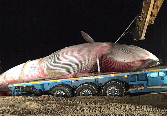 UNILAD whale beached WEB 36 It Took Six Hours To Move This Massive Whale Washed Up On A Beach In Northern Ireland