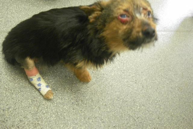 Puppy Rescued And Recovering After Being Fed Drugs, Burned And Left For Dead Chunky1 640x426