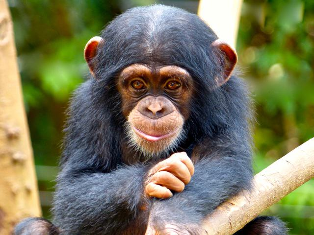 Elainie Madsen The U.S Government Is Retiring All Research Chimpanzees