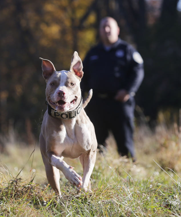 UNILAD 397267 History Made As Rescue Dog Becomes First Ever NYPD K9 Pit Bull