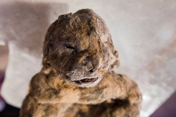UNILAD Screen Shot 2015 11 17 at 15.31.0230324 12,000 Year Old Cave Lion Cubs Found In Siberia Almost Perfectly Preserved By Ice