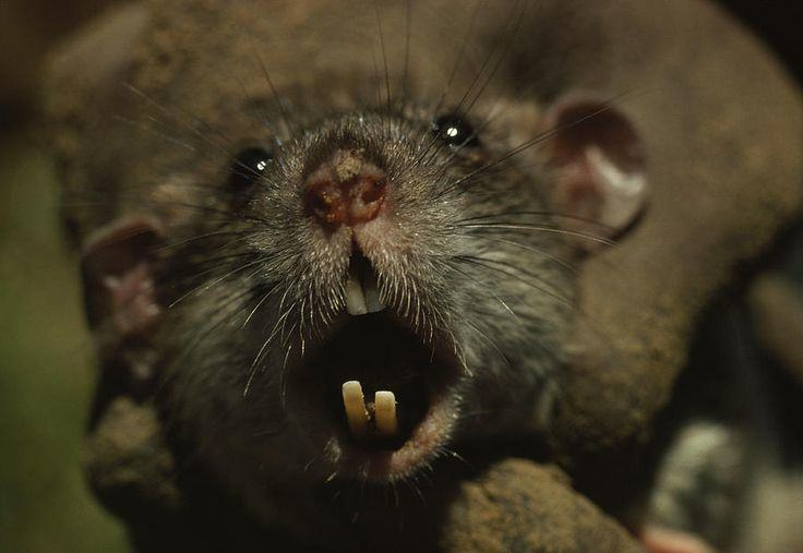 Forget Giant Mutant Rats, Plague Of Super Smart Mice To Hit UK UNILAD b44e29cc42238d16f0a479880015204f70853851