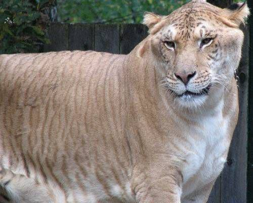 Liger.jpg.638x0 q80 crop smart Some Crazy Animal Hybrids That Actually Exist