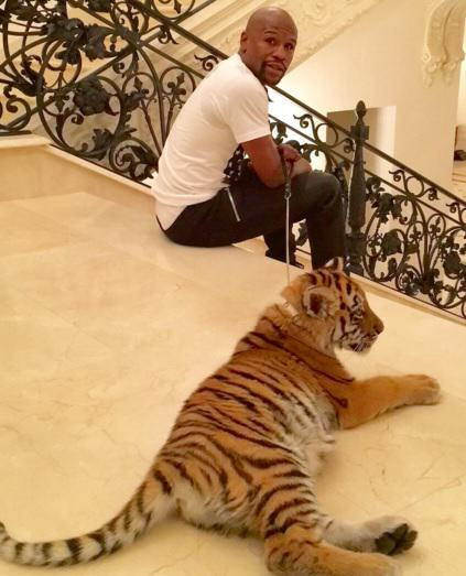 I Get Socks For Christmas, Floyd Mayweather Gets Actual Tigers floyf mayweather
