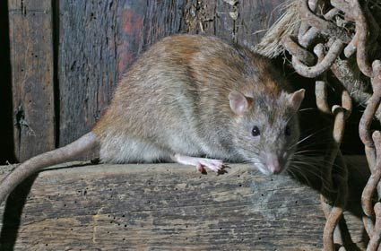 rat Pensioner Dies After Being Bitten 50 Times By Rat