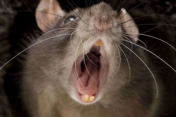 Rat Disgusting Story Of Man Who Accidentally Shared His Crisps With A Rat