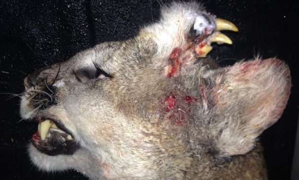 Screen Shot 2016 01 10 at 18.51.17 Dead Mountain Lions Deformity Leaves Officials Baffled
