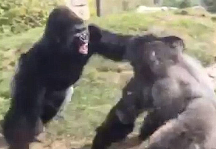 fight1 2 Two Gorillas Go Hard In Video Of Brutal Boxing Match