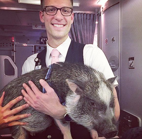 hamlet1 This Emotional Support Pig Helps His Owner Get Over Her Fear Of Flying