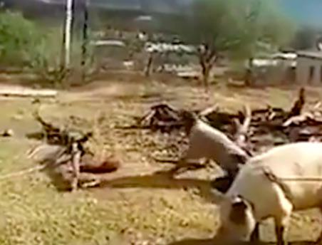 pig6 Farmer Feels Swift Justice Of Karma As He Tries To Kill A Pig With An Axe