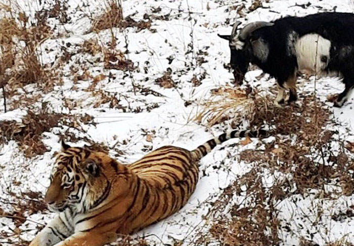 tiger goat web thumb This Russian Lawyer Thinks The Tiger Goat Friendship Is Gay Propaganda
