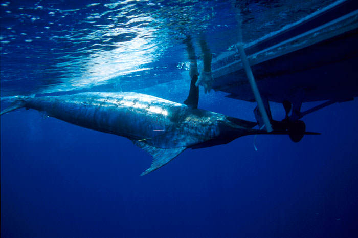 tuna1 It Turns Out Endangered Bluefin Tuna Goes For A F*cking Ridiculous Price