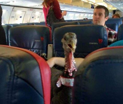turkey2 1 This Emotional Support Pig Helps His Owner Get Over Her Fear Of Flying