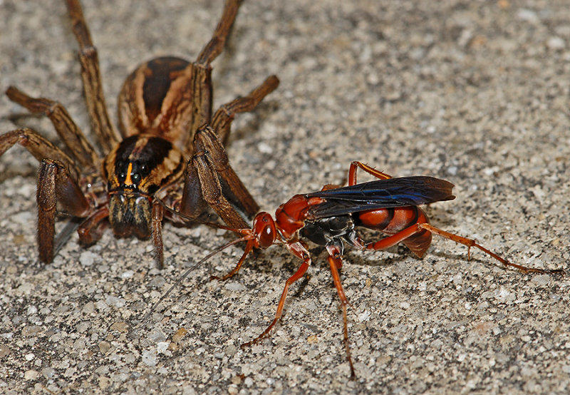 wasp5 What The Spider Wasp Does To Its Prey Is Truly F*cking Terrifying