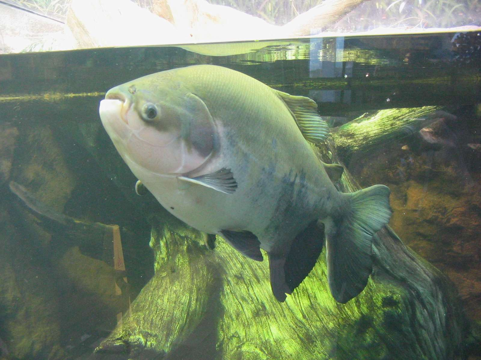 pacu 2 Testicle Eating Fish Could Be Heading For The UK