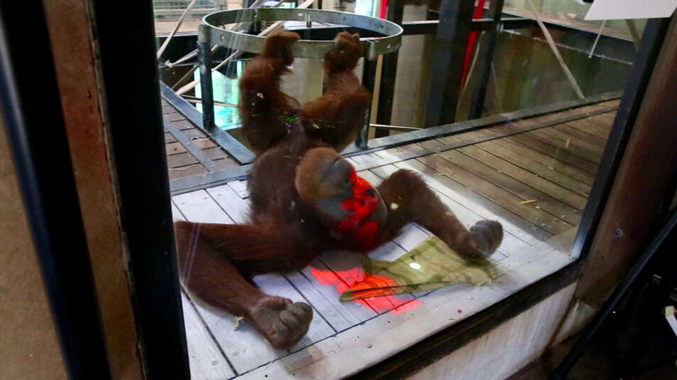 xbox1 Orangutans Using Xbox Kinect In New Zoo Based Research Project